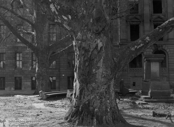 Sycamore trees in front of Darmstädter Bank (1945)