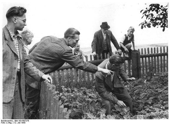 Searching for Potato Beetles (July 1950)